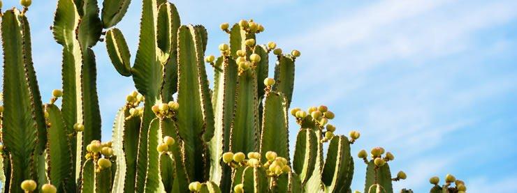 Cactus Guadalajara Mexico